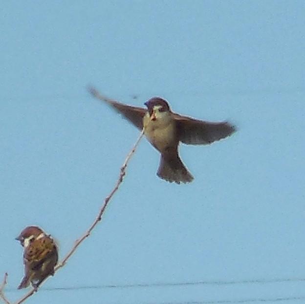 鳥> スズメ:飛んできました!←1
