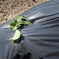 Photos: さし苗の植え付け3