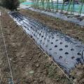 写真: 白菜の植え付け3