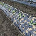 写真: 白菜の植え付け4