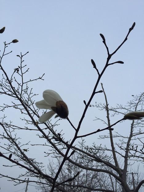写真: キタコブシ 開花