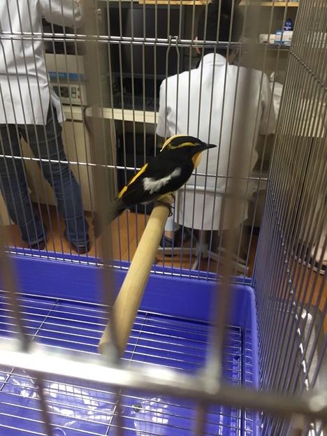 写真: キビタキ成鳥雄 保護