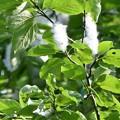 写真: 改良ポプラ 種2
