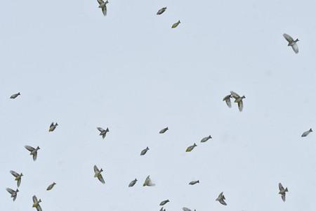 マヒワの群れ2