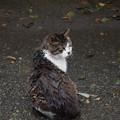 写真: 雨に濡れてにゃー