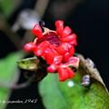 写真: 山芍薬の果実
