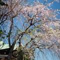 Photos: 寺の境内の桜