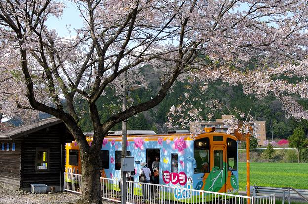 桜と樽見鉄道(11)