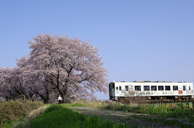 桜と樽見鉄道(6)