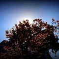 八重桜逆光撮影