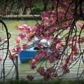 上野ボート池の八重桜