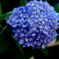 写真: 白山神社境内紫陽花 其の参