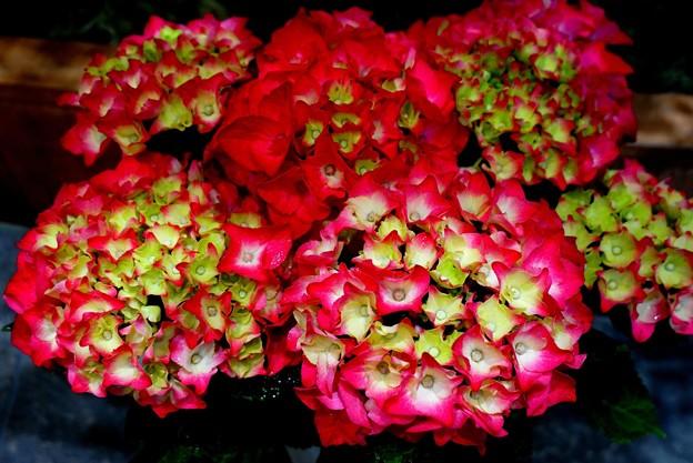 薔薇と紫陽花の散歩道