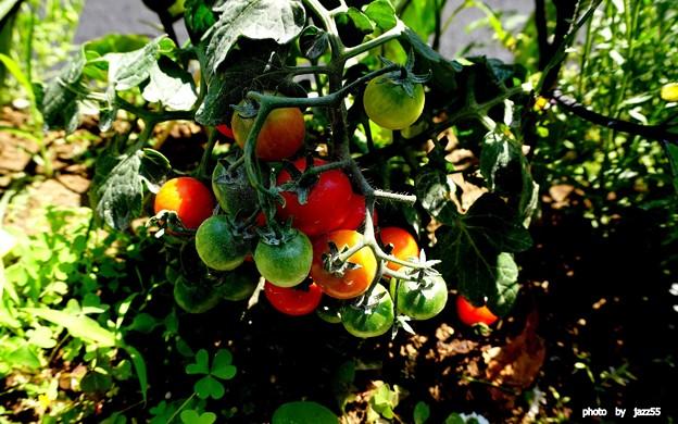 ミニ トマト       道端菜園