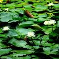 小石川庭園の睡蓮