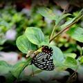 蝶のウルトラC