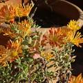 午後の陽射し受ける菊の花
