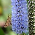 写真: 植物園のセセリン