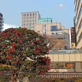 写真: 山茶花の咲く頃