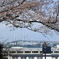 ベイブリッジと桜