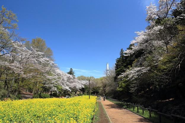 咲き揃う桜が