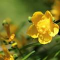 ヒドコート オトギリソウ属の園芸種