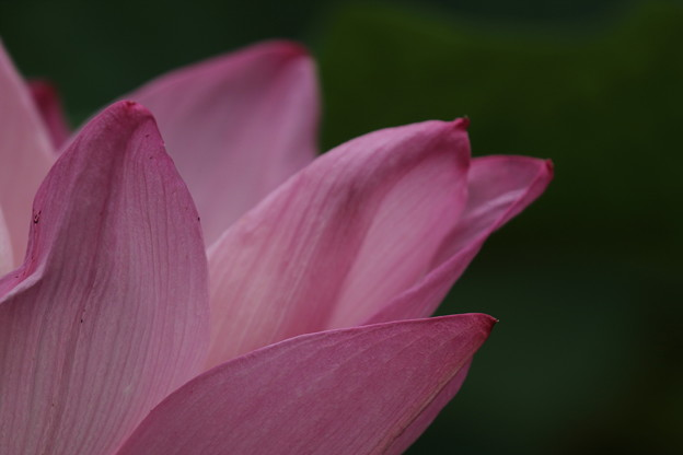 ピンクの蓮