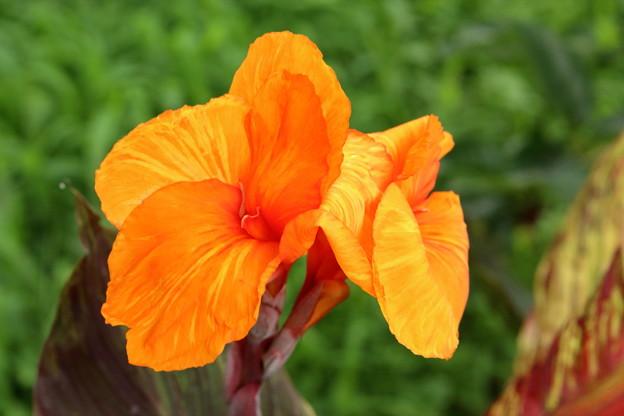 カンナ オレンジ