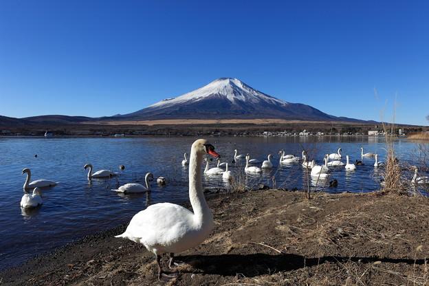 富士と白鳥2