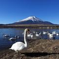 写真: 富士と白鳥2