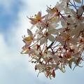 写真: Pink Shower Tree II 4-9-17