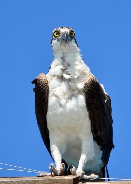 Photos: Osprey I 4-15-17