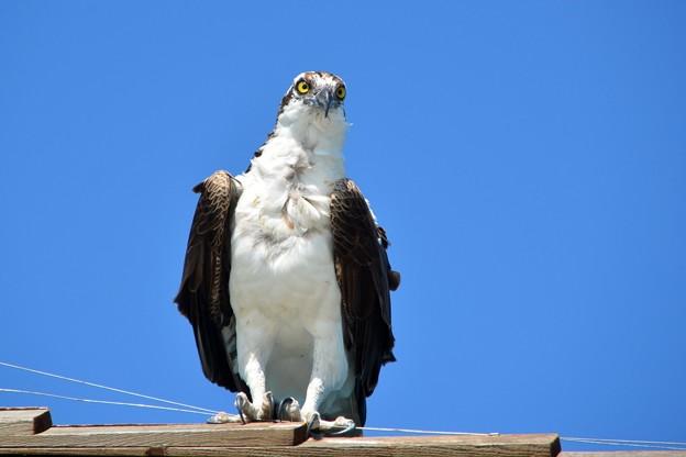 Photos: Osprey III 4-15-17