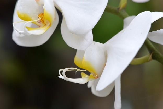 Moth Orchid I 4-18-17
