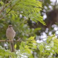 Northern Mockingbird I 4-22-17
