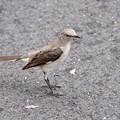 Northern Mockingbird II 4-22-17