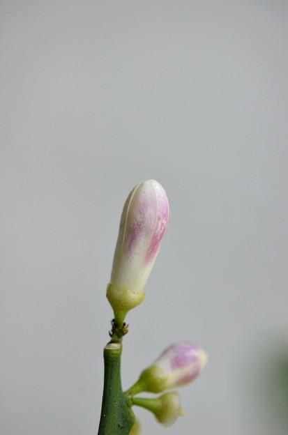 Meyer Lemon IV 4-29-17
