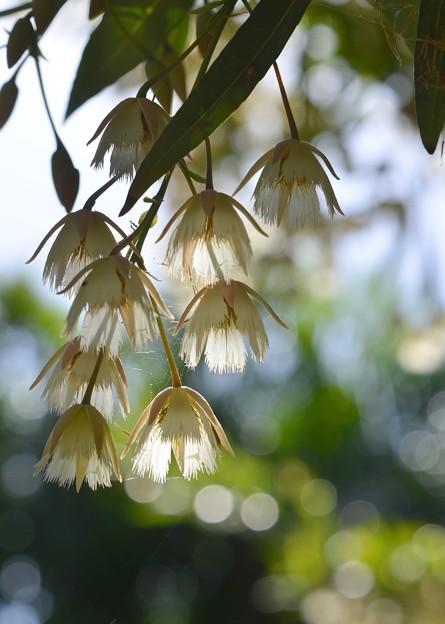 Elaeocarpus hygrophilus I 5-21-17