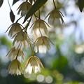 Photos: Elaeocarpus hygrophilus I 5-21-17