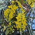 Golden Shower Tree I 5-21-17
