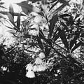 写真: Elaeocarpus hygrophilus II 5-21-17