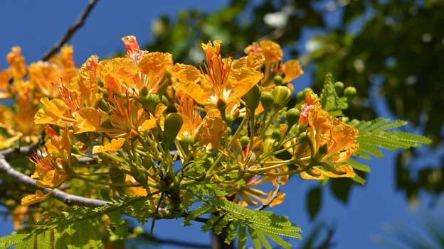 Yellow Royal Poinciana II 5-21-17