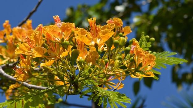 Yellow Royal Poinciana II 5-21-17