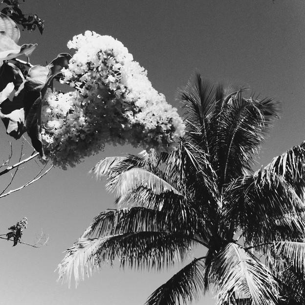 Crepe Myrtle Meets a Palm Tree 5-28-17