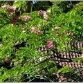 Pink Shower Tree I 5-28-17