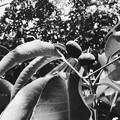 写真: Kopsia arborea 5-28-17