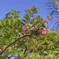 Pink Shower Tree II 5-28-17