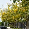 写真: Golden Shower Trees 6-3-17