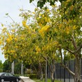 Golden Shower Trees 6-3-17
