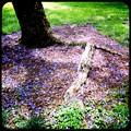 写真: Fallen Jacaranda in the Park 6-3-17